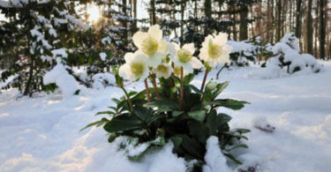 Морозник - цветок Рождества