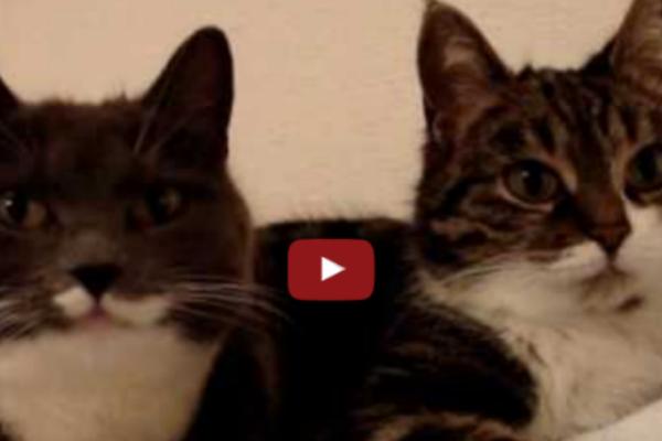 Очень забавный диалог двух кошек...