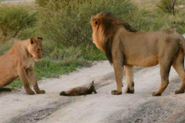 Вот такая львица-мама